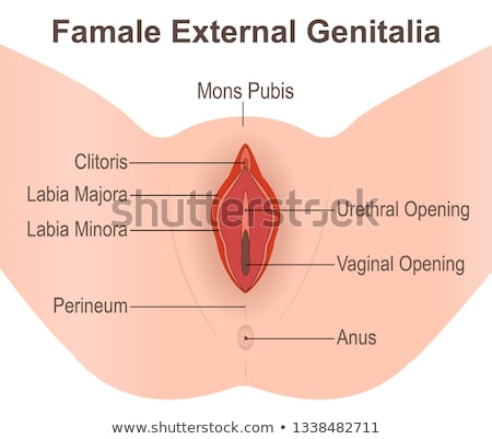 Stock photo: Human female genitalia (external)