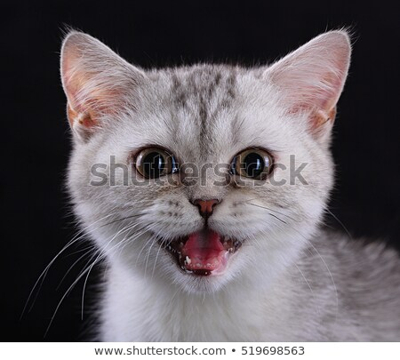 Angry cat looking into the camera in studio Stock photo © vauvau