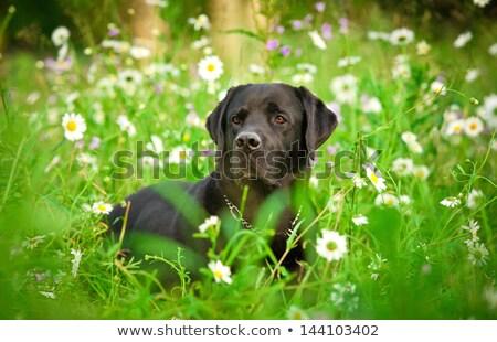 Stock photo: Black Labrador dog lying on flower meadow
