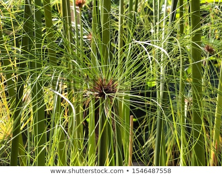 Cyperus papyrus plant of Egypt for paper Stock photo © AlessandroZocc