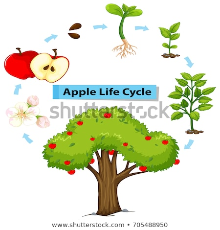 Diagram showing life cycle of apple Stock photo © colematt