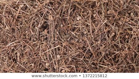 hedyotis diffusa or snake needle grass stock photo © szefei