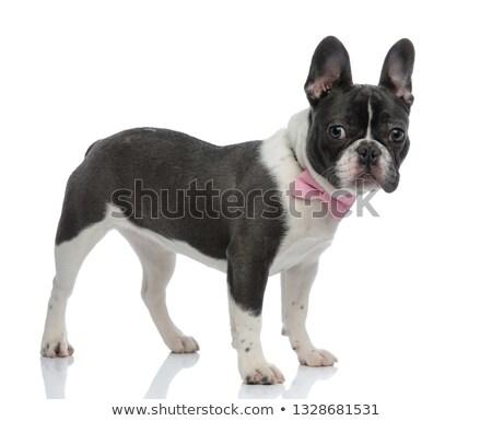 french bulldog wearing a pink bowtie Stock photo © feedough