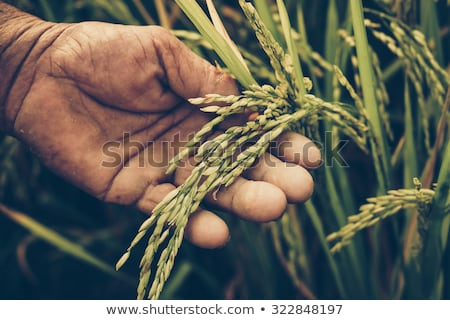 Hand in the green rice field Stock photo © boggy