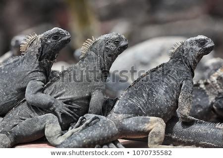 galapagos marine iguana   iguanas warming in the sun on fernadina island stock photo © maridav