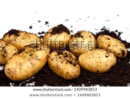 Recién patatas suelo primer plano blanco frescos Foto stock © marylooo