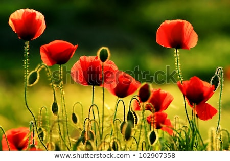 Red blooming garden rose flower at sunset, floral beauty backgro Stock photo © Anneleven