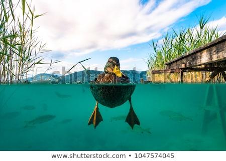 утки плаванию озеро человека птица зима Сток-фото © meinzahn