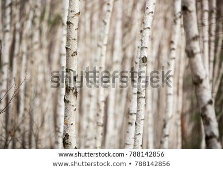 Detay huş ağacı ağaç mavi gökyüzü Stok fotoğraf © ivonnewierink