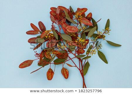 gum leaves backdrop Stock photo © photohome