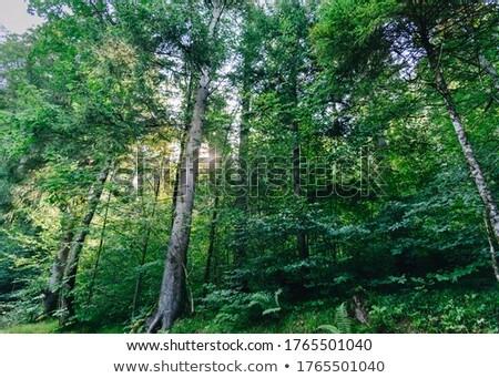 Deep in the woods Stock photo © hraska