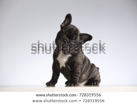 bulldog portrait in a gray photo studio stock photo © vauvau