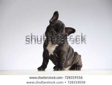 Buldok portre gri fotoğraf stüdyo köpek Stok fotoğraf © vauvau