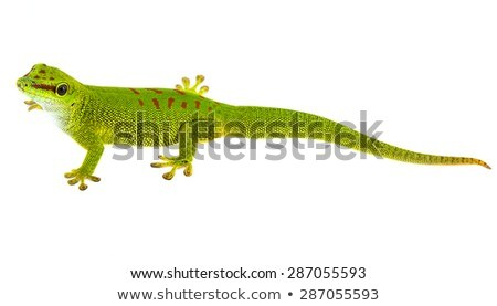 small gecko on white background Stock photo © taviphoto