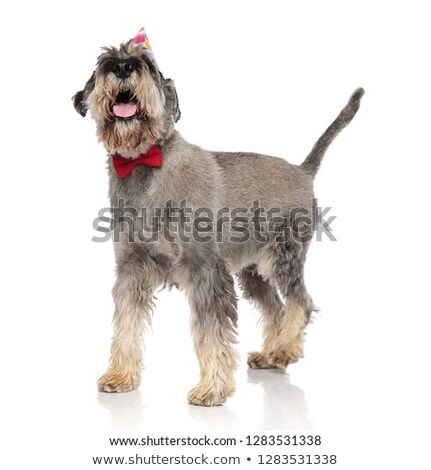 classy schnauzer wearing a red bowtie panting and looking up Stock photo © feedough