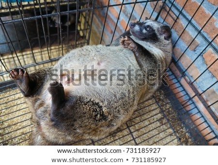 Asian Palm Civet produces Kopi luwak, Bali Stock photo © galitskaya