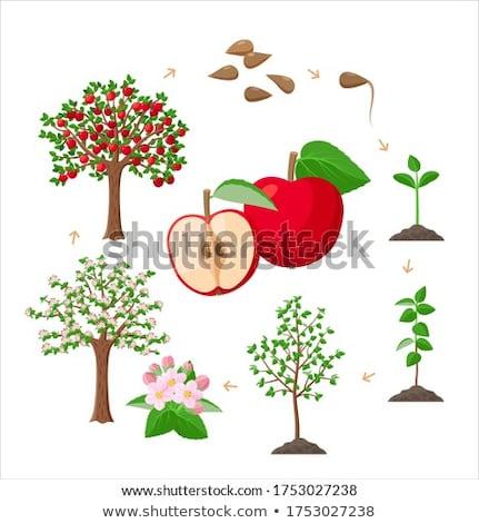 Blooming apple tree. Stock photo © lypnyk2