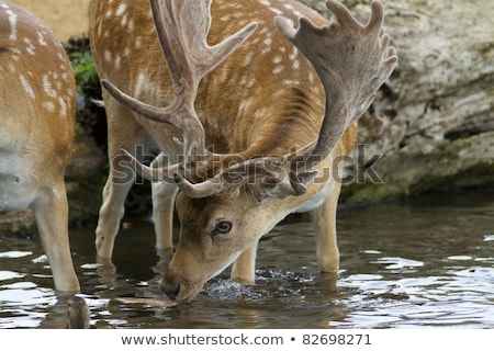 Deer and fallow deer at the watering