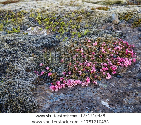 紫色 花 アイスランド 土壌 緑 ストックフォト © elxeneize