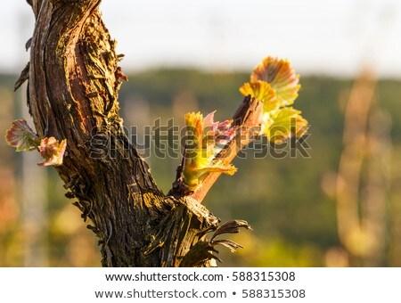 Szőlő szőlőskert tavasz tájkép gyümölcs farm Stock fotó © njnightsky
