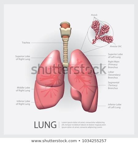 tüdő · alapvető · orgona · sok · állatok · kevés - stock fotó © tefi
