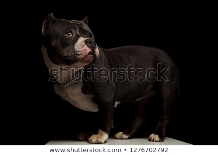 side view of cute american bully with collar looking behind Stock photo © feedough