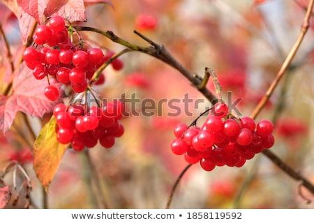 hanging viburnum bunches Stock photo © romvo