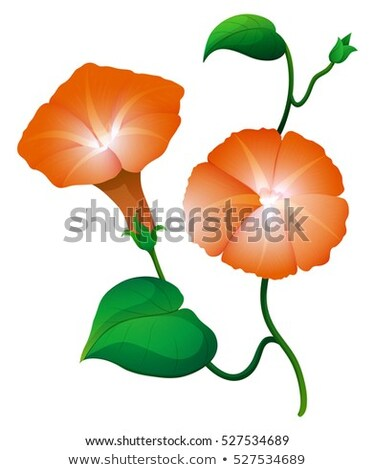 Two morning glory flower in orange color Stock photo © colematt
