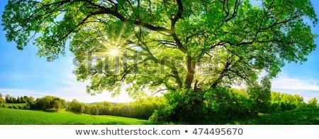 Panoramiczny zielone liście Błękitne niebo drzewo wiosną słońce Zdjęcia stock © FrameAngel