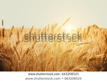 Stock photo: Ripe wheat at sunset