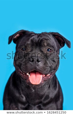 staffordshire terrier smiling in a dark studio stock photo © vauvau