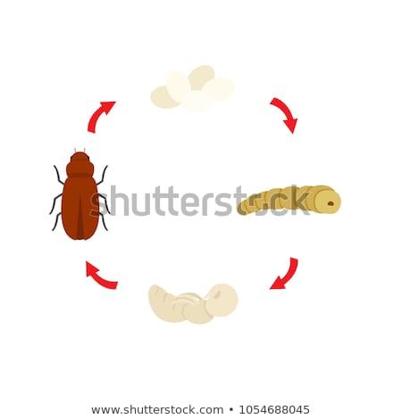 Mealworm pupa on white background Stock photo © bluering