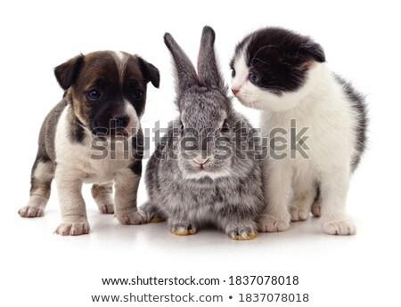 группа · смешные · собаки · бесконечный · белый · студию - Сток-фото © vauvau
