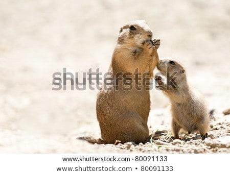 préri · kutya · eszik · természetes · élőhely - stock fotó © bobkeenan