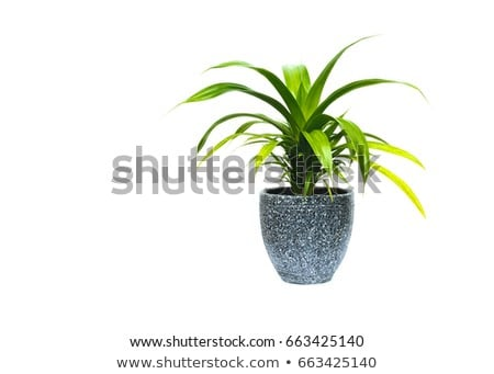 Plant growing in pot or planter. Green indoor houseplant and flower Stock photo © robuart