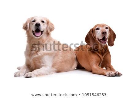 Studio shot of an adorable Golden Retriever and a hungarian vizsla Stock photo © vauvau