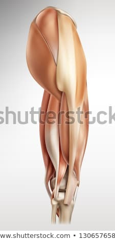 Male Muscular Anatomy Side View Stock photo © RandallReedPhoto