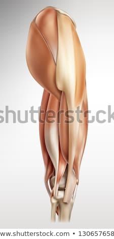 männlich · muskuläre · Anatomie · Seitenansicht · Illustration · pädagogisch - stock foto © RandallReedPhoto