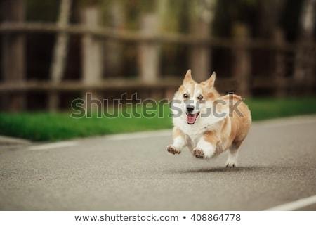 Welsh Corgi dog running Stock photo © raywoo
