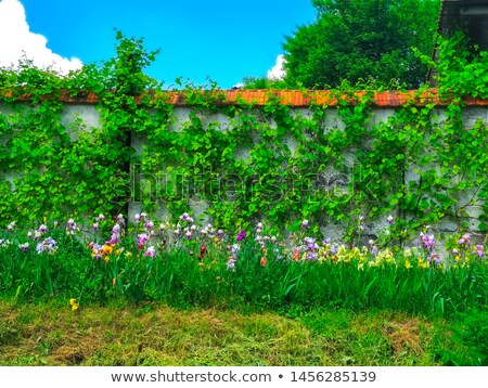 brick wall covered in ivy Stock photo © REDPIXEL