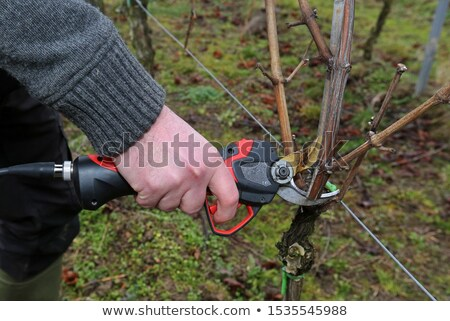 Winegrowers pruning vines Stock photo © photography33