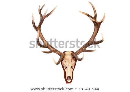 Red Deer Antler Isolated On White ストックフォト © taviphoto