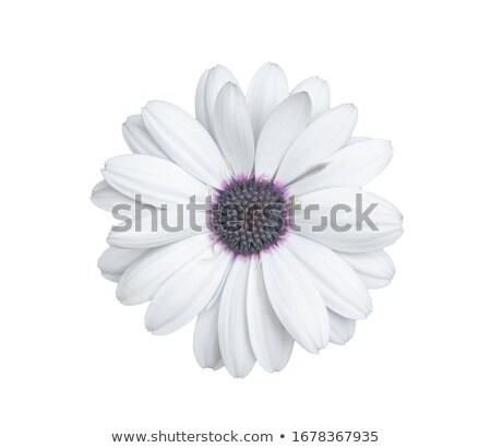 紫色 デイジーチェーン 花 フル 咲く 太陽 ストックフォト © AlessandroZocc