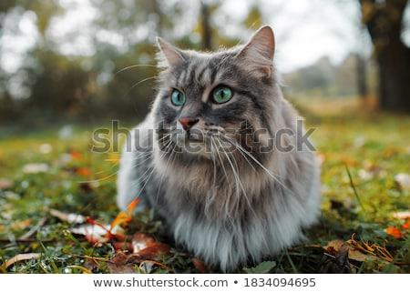 kat · gras · geïsoleerd · witte · natuur · achtergrond - stockfoto © jonnysek