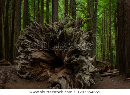 fallen giant california redwood sequoia tree overed in moss stock photo © wolterk