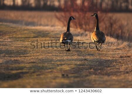 два гусей ходьбе далеко воды семьи Сток-фото © deymos