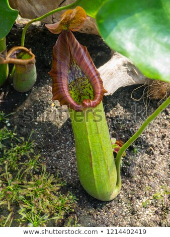 Ritka növény húsevő levél rovar Stock fotó © stocker