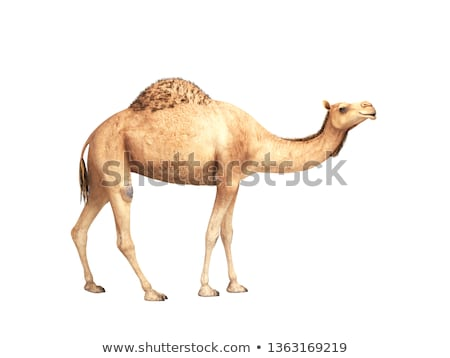 herd of camels Stock photo © w20er