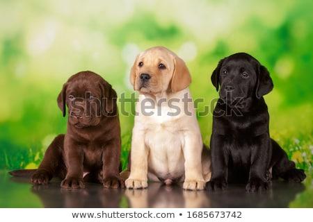 Zdjęcia stock: Psa · labrador · retriever · twarz · portret · zwierząt · szczeniak