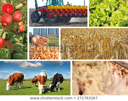 Agriculture - tractor sowing salad Stock photo © franky242